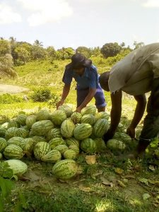 Mitglieder der Kooperative bei der Melonenernte