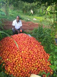 Daudi bei der Tomatenernte